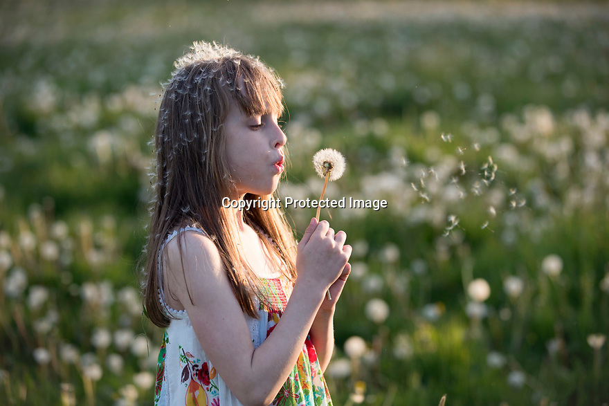 11/05/17<br /> <br /> Freya Kirkpatrick, 9, plays in a field full of dandelion clocks as the sun sets on one of the hottest days of May near Wirksworth in the Derbyshire Dales.<br /> <br /> All Rights Reserved F Stop Press Ltd. (0)1773 550665 www.fstoppress.com