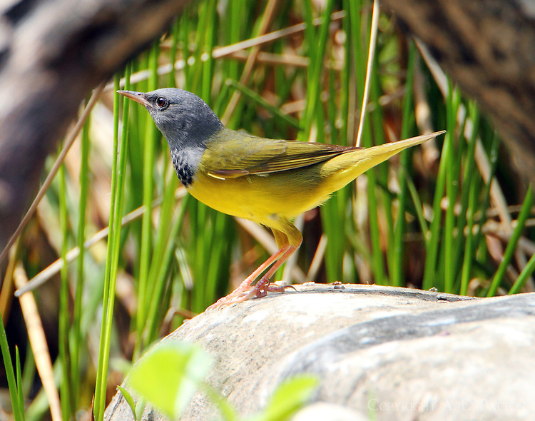 Adult male mourning warbler