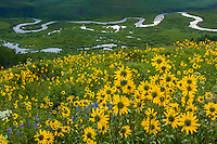 North America, USA, Colorado, Gunnison National Forest. Aspen sunflowers (Helianthella quinquenervis) above the East River. The flowers appear to be concentrating on the beauty of the valley.