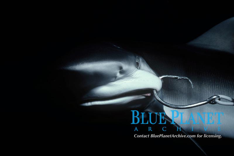 Juvenile oceanic Blacktip Shark, Carcharhinus limbatus, hooked on long line. Cocos Island, Costa Rica - Pacific Ocean