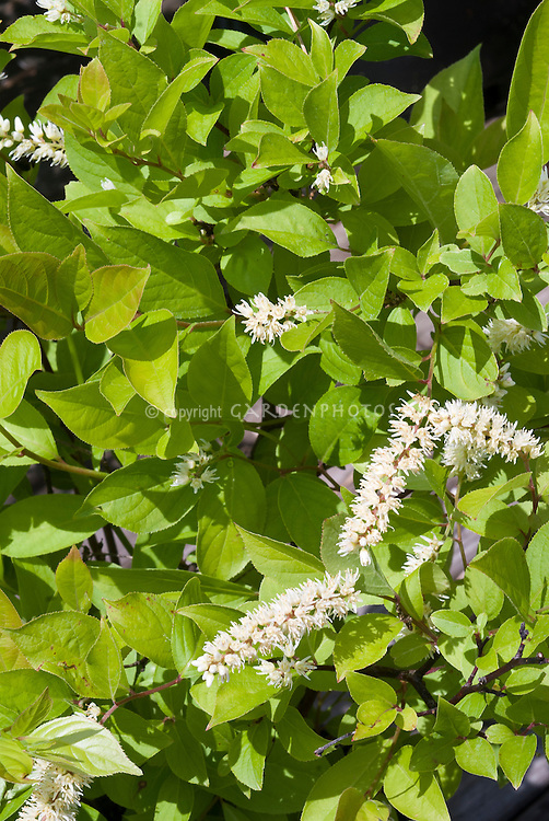 Itea virginica Virginia Sweetspire in bloom in June