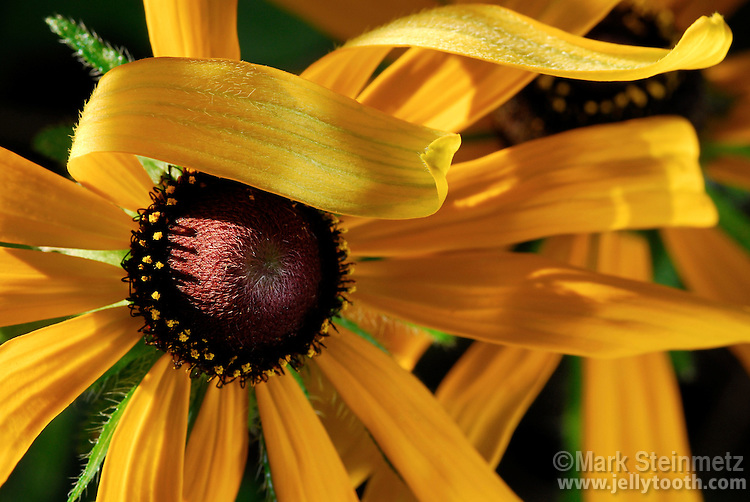 Close-up of Black-eyed Susan (Rudbeckia hirta). This species is a native north american, uncultivated form of the wildflower. Biennal or short-lived perennial herb. Found in native prairies, open woodlands, and other open areas.