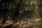 Yellow Baboon (Papio cynocephalus) troop and Helmeted Guineafowl (Numida meleagris) trio in miombo woodland, Kafue National Park, Zambia