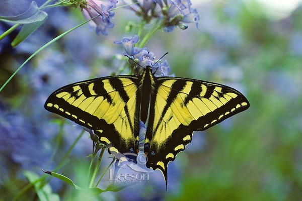 Western Tiger Swallowtail (Papilio rutulus) on penstemon flower, Pacific Northwest.