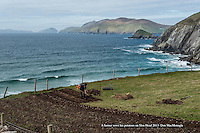 6-5-2013: In time honoured tradition, a Kerry farmer digs his ridges and plants 'rooster potatoes' in a field overlooking Coomeenole Beach with the wild Atlantic Ocean andThe Blasket Islands in the distance on Monday. Planting potatoes is nearly a  month behind schedule due to the inclement weather this year.<br /> Picture by Don MacMonagle