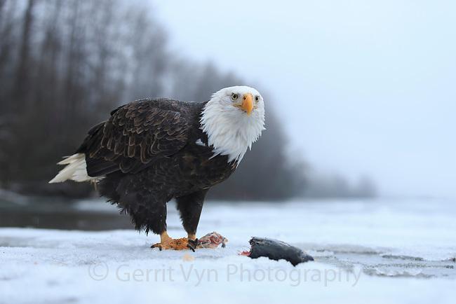 Bald Eagle (Haliaeetus leucocephalus) feeding on salmon along the partially frozen Chilkat River. Alaska. November.