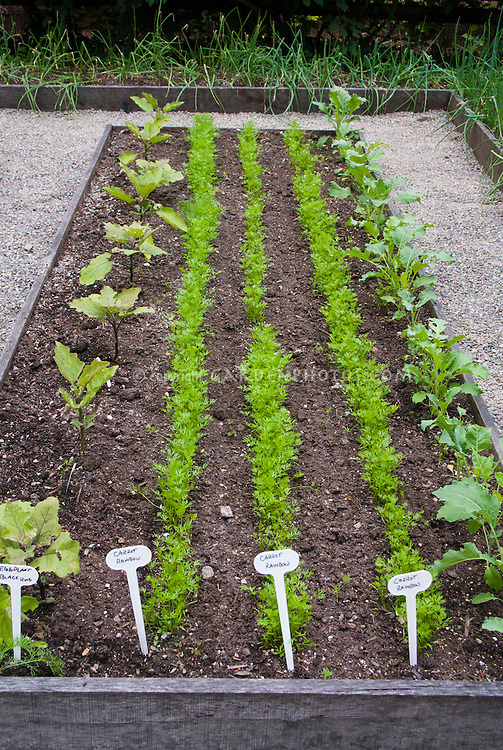 Vegetable Garden Rows Of Plants Seedlings Sown Directly In Dirt Soil, Raised  Bed With Plant