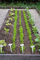 Vegetable garden rows of plants seedlings sown directly in dirt soil, raised bed with plant labels, carrots, eggplants, variety