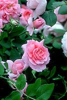 Rosa 'The Mayflower' aka 'Austilly'  Pink shrub roses