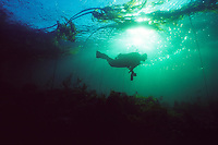 Diver explores a Bull Kelp Forest (Nereocystis leatkeana) underwater in Johnstone Strait off the north coast of Vancouver Island, BC, Canada.