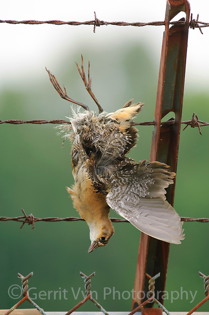 Dead juvenile Sora (Porzana carolina) caught in a barbed wire fence. Birds are often caught when they strike barbed wire fences in flight and get entangled. Tompkins County, New York. August.
