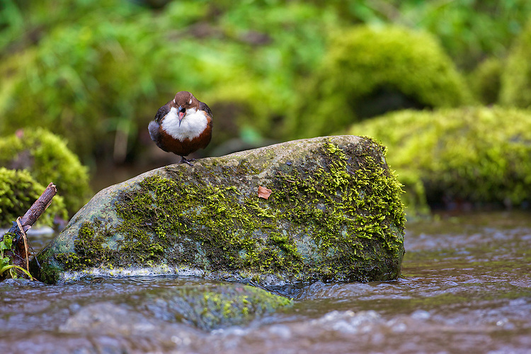 White-throated Dipper (Cinclus cinclus) perched on rocks, yawning. Dippers have a remarkable way to catch food in a niche area. They are able to dive under water readily at will and walk along the bottom in search of caddis fly larva and other food.