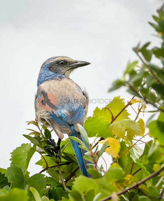 Florida Scrub Jay perched in leafy tree