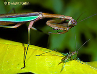 1M29-012z Praying Mantis adult preparing to strike prey - Tenodera aridifolia sinensis