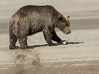 Brown Bear (Ursus arctos) enjoys SIlver Salmon on the bank of a stream in Lake Clark National Park.