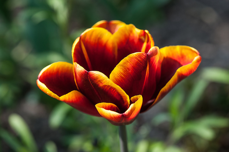 Tulip 'Abu Hassan' (Triumph Group), late April.