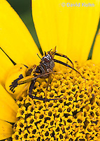 0114-1003  Crab Spider Consuming Fly, Misumenoides spp.  © David Kuhn/Dwight Kuhn Photography