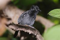 Black-hooded Antshrike, Thamnophilus bridgesi, adult perched, Carara Biological Reserve, Central Pacific Coast, Costa Rica, Central America, December 2006
