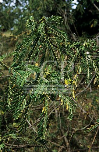 Lolgorian, Kenya. Siria Maasai; medicinal plant 'Osenetoi'; used for de-worming. Senna.