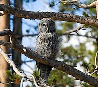 Great Grey Owl - Yellowstone.