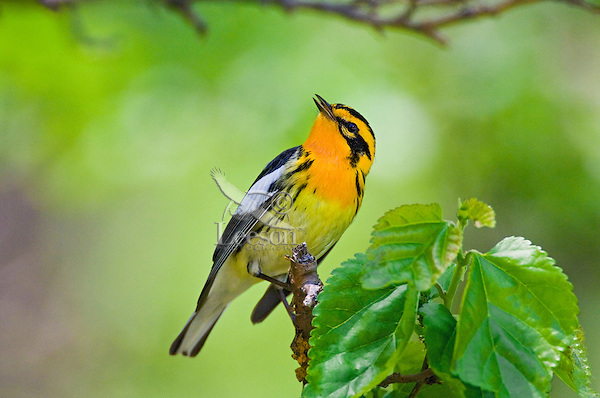 Blackburnian Warbler (Dendroica fusca) male in breeding plumage rests in mixed forest along Lake Erie shoreline near Canada and USA border during annual spring migration northward  to summer nesting grounds. About 55% of Blackburnian Warblers in North America breed within Canada's boreal forest.