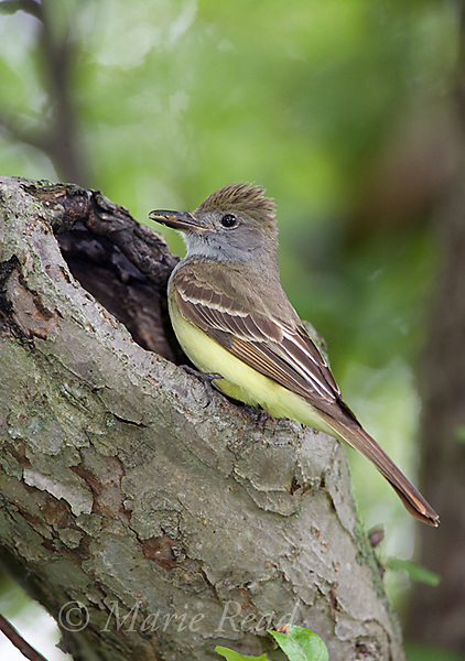 Great Crested Flycatcher (Myiarchus crinitus), bringing food to its nest hole, New York, USA