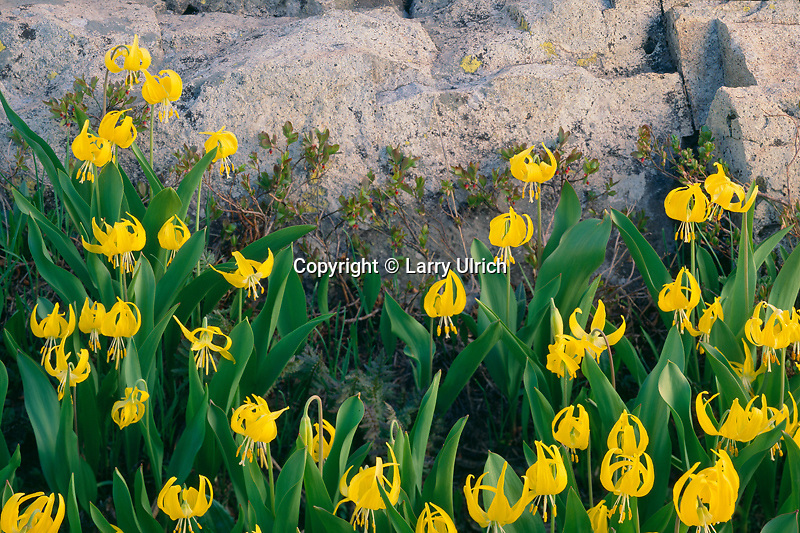 Glacier lily in Democrat Basin<br />