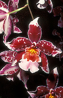 Intergeneric orchid hybrid Vuylstekeara Cambria in red and white flowers