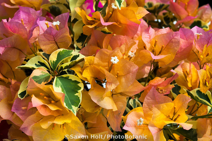 Bougainvillea flowers and orange bracts 'Delta Dawn' from Vista Farms, variegated foliage
