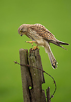Kestrel Falco tinnunculus, male perched on an old farmland post; Droitwich, Worcestershire; May