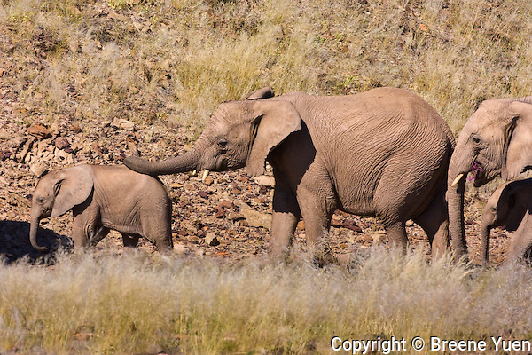 A trunk reassures a young desert elephant that his family is right behind him