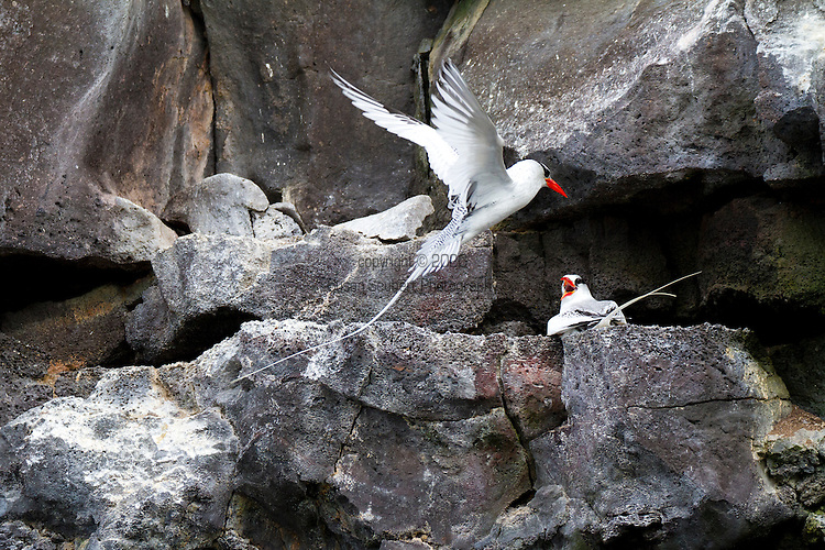 Genovesa Island with a large population of nesting sea birds in the Galapagos National Park, Galapagos, Ecuador. Red billed tropicbirds fighting over a landing site on the cliffs of Genovesa Island near Prince Philip's Steps