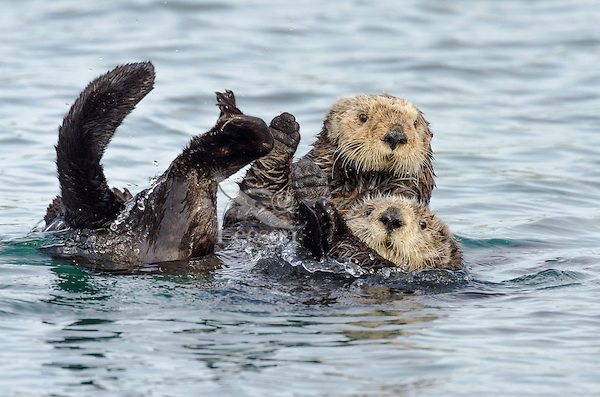 Two Southern Sea Otters (Enhydra lutris nereis) react with surprise when another sea otter splashes about nearby.  California Coast.