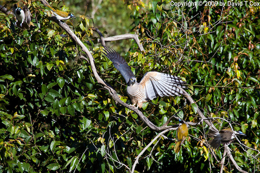 Pacific Baza harrased by Blue Faced Honeyeaters, Eungella NP, Queensland, Australia