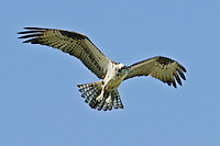 Osprey (Pandion halaetus)