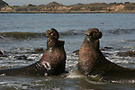 Bull elephant seals fight at Ano Nuevo SR