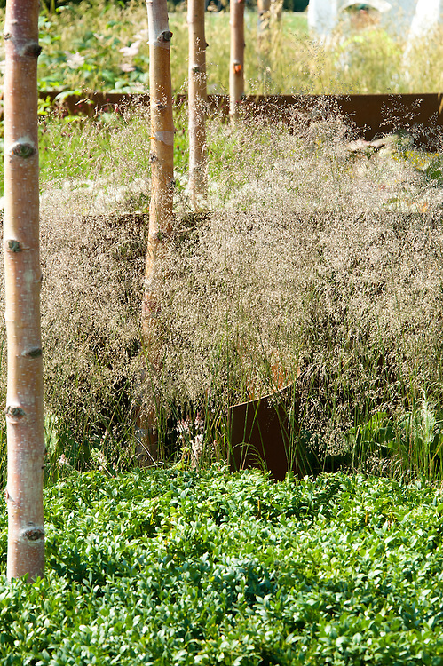 "Chinese red birch (Betula albosinensis 'Fascination') and Common quaking grass (Briza media), ""I am, because of who we are"" show garden, designed by Caroline Comber with Petra Horackova, Hampton Court Flower Show 2011."