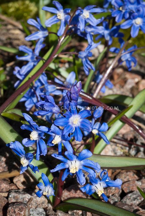 Chionodoxa luciliae, little spring bulb, blue flowers