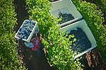 Harvest in St. Helena vineyard