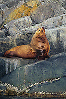 Northern Sea Lion bull rests on coastal rocks.  Northwestern U.S.A.