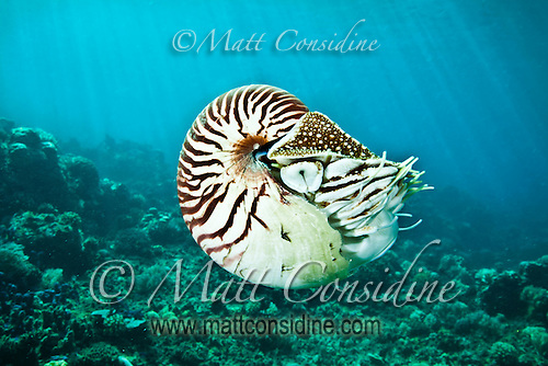 Nautilus illuminated against a background of sunbeams, Palau Micronesia. (Photo by Matt Considine - Images of Asia Collection) (Matt Considine)