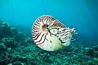 Nautilus illuminated against a background of sunbeams, Palau Micronesia. (Photo by Matt Considine - Images of Asia Collection)