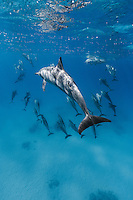 RZ0836-Dr. Spinner Dolphins (Stenella longirostris), very gregarious species often found in large groups. Hundreds of thousands were killed in past decades in purse seine nets used by the commercial tuna fishing fleet in the eastern tropical Pacific Ocean. Egypt, Red Sea.<br /> Photo Copyright &copy; Brandon Cole. All rights reserved worldwide.  www.brandoncole.com