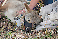 Coyote (Canis latrans), adult being tagged, Welder Wildlife Refuge, Sinton, Corpus Christi, Coastal Bend, Texas, USA