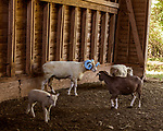 July 31, 2017. Chapel Hill, North Carolina.<br /> <br /> Rameses the Ram with his daughter June, bottom left. <br /> <br /> The Hogan family have long been the caretakers of Rameses the Ram. The current Rameses is the 21st in the line of the University of North Carolina's live mascot.