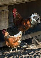 Austria, Tyrol, Imst: rooster and hen | Oesterreich, Tirol. Imst: Hahn und Henne