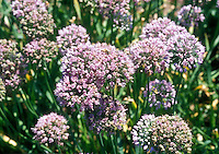 Allium aflatuense (hort), ornamental onion species