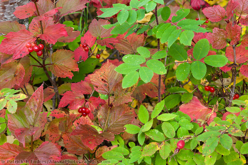 Autumn foliage, high bush cranberries, wild rose, in the boreal forest floor, Peters Creek, southcentral, Alaska.