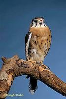 HK01-020z  Sparrow Hawk - Falco sparverius