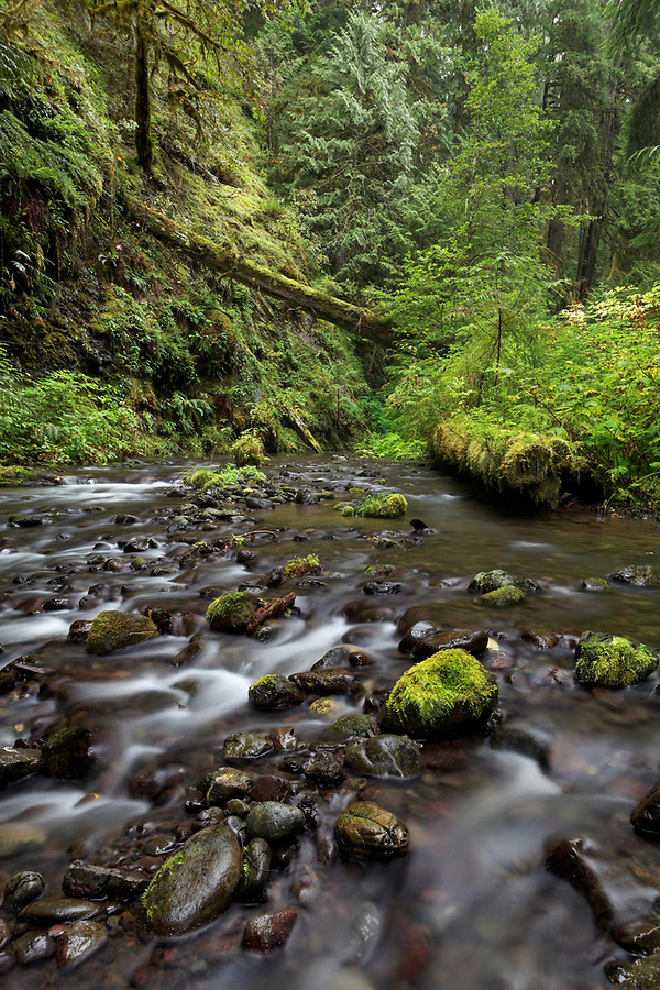 The South Branch of Little River flows through old growth arboreal rainforest, Olympic National Park, Clallam County, Washington, USA